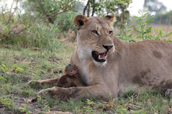 Lion05