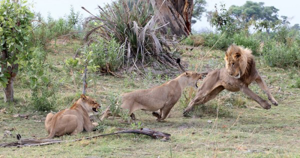 Lion08